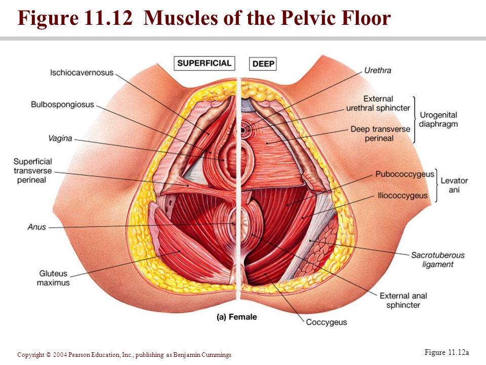 Copyright © 2004 Pearson Education, Inc., publishing as Benjamin Cummings Figure 11.12 Muscles of the Pelvic Floor Figure 11.12a