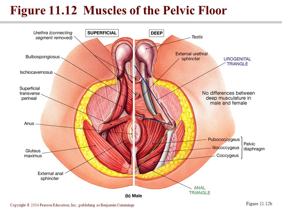 Copyright © 2004 Pearson Education, Inc., publishing as Benjamin Cummings Figure 11.12 Muscles of the Pelvic Floor Figure 11.12b