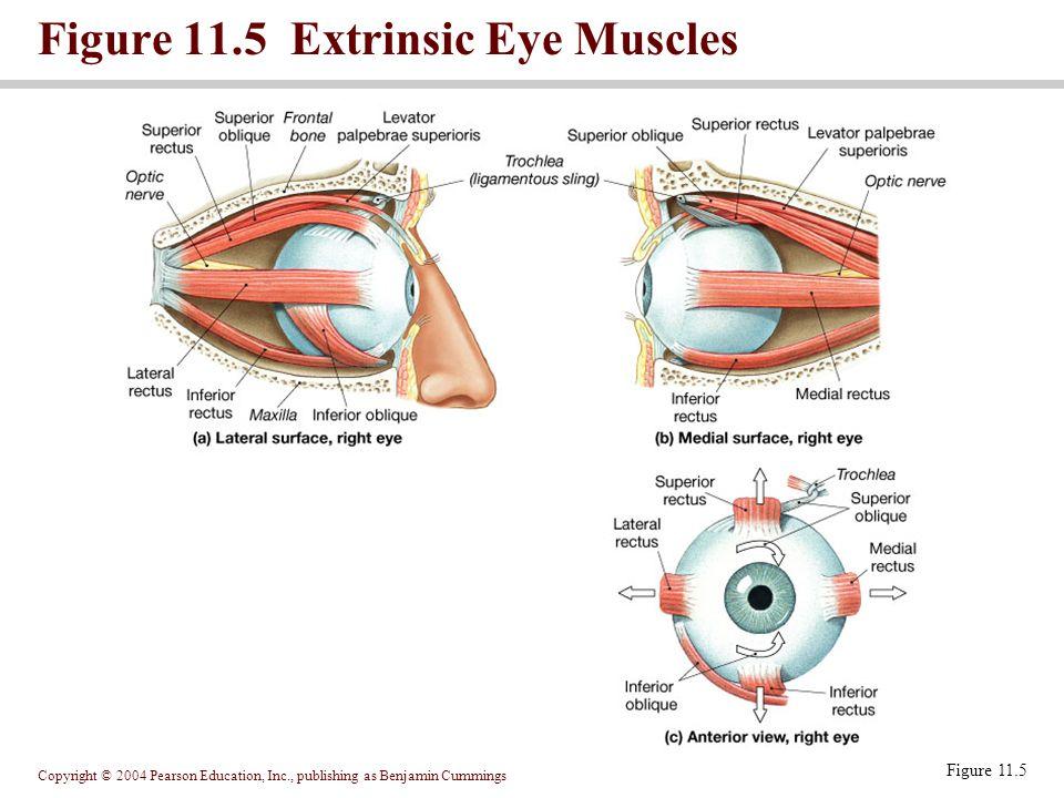 Copyright © 2004 Pearson Education, Inc., publishing as Benjamin Cummings Figure 11.5 Extrinsic Eye Muscles Figure 11.5