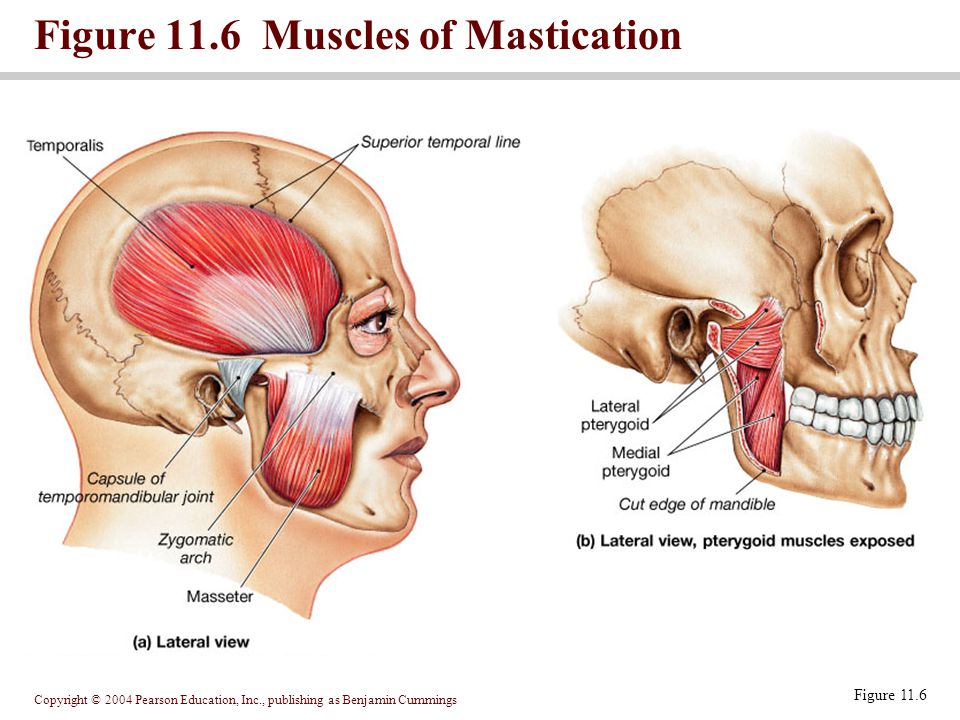 Copyright © 2004 Pearson Education, Inc., publishing as Benjamin Cummings Figure 11.6 Muscles of Mastication Figure 11.6