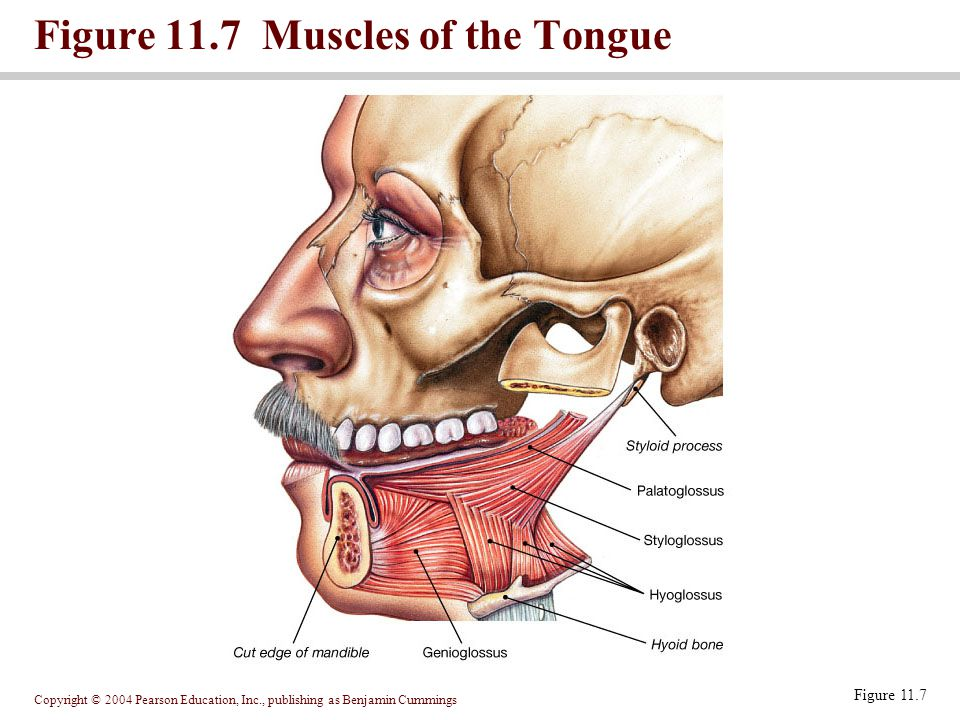 Copyright © 2004 Pearson Education, Inc., publishing as Benjamin Cummings Figure 11.7 Muscles of the Tongue Figure 11.7