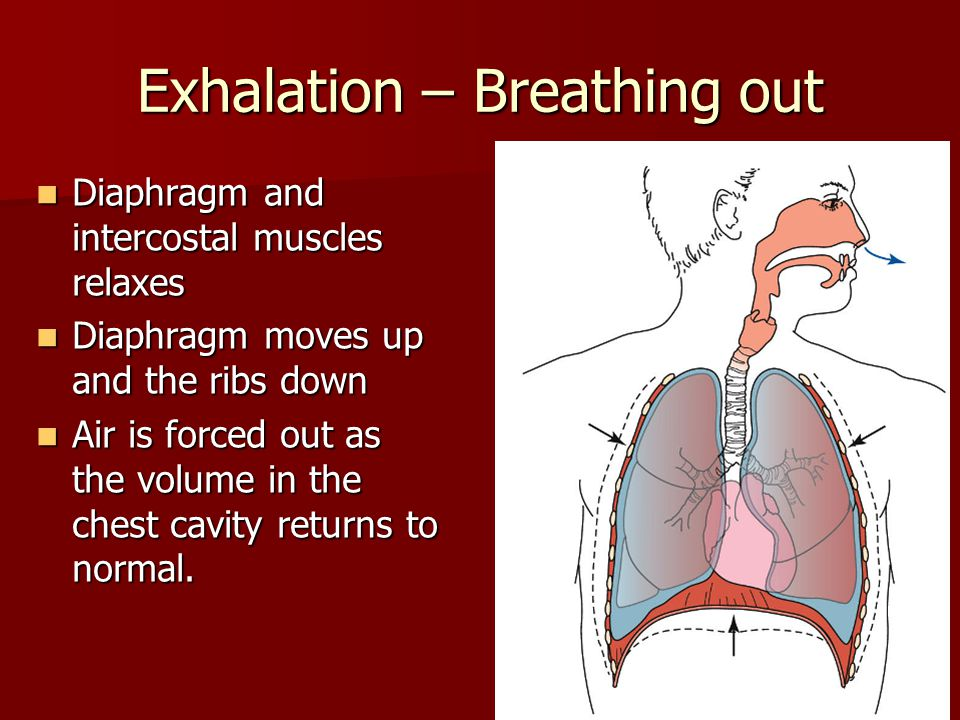 Exhalation – Breathing out Diaphragm and intercostal muscles relaxes Diaphragm and intercostal muscles relaxes Diaphragm moves up and the ribs down Diaphragm moves up and the ribs down Air is forced out as the volume in the chest cavity returns to normal.