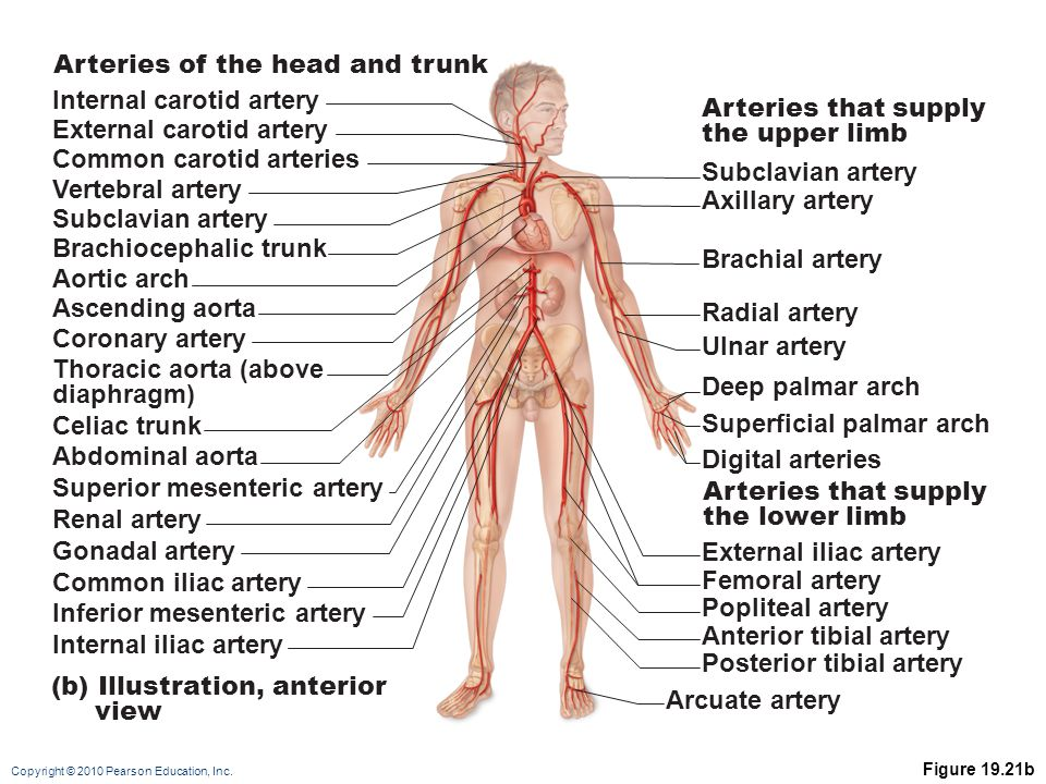 Copyright © 2010 Pearson Education, Inc.Figure 19.29b (b) Tributaries of the inferior vena cava.