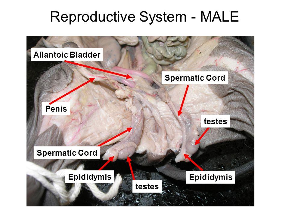 Reproductive System - MALE Allantoic Bladder testes Penis Spermatic Cord Epididymis Spermatic Cord testes