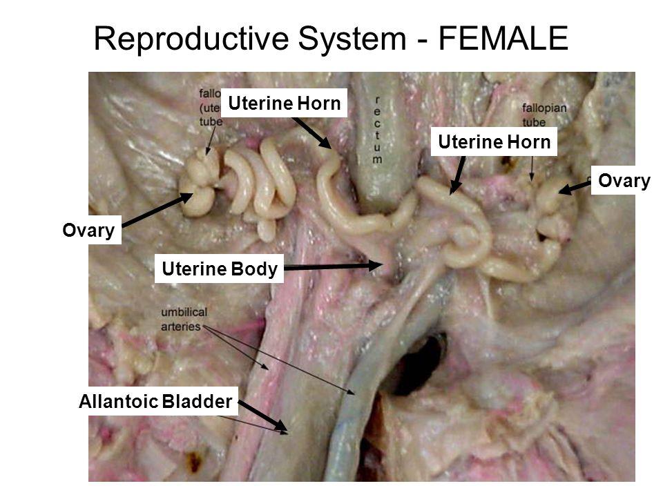 Reproductive System - FEMALE Allantoic Bladder Ovary Uterine Horn Uterine Body