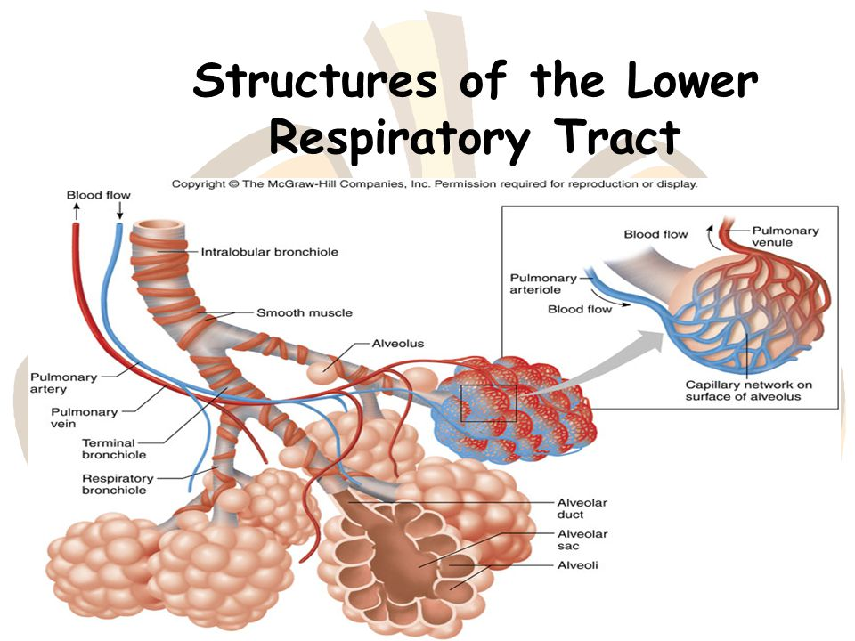 Structures of the Lower Respiratory Tract