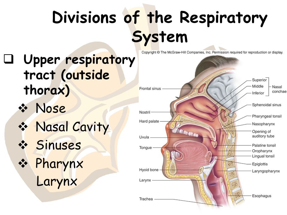 Divisions of the Respiratory System  Upper respiratory tract (outside thorax)  Nose  Nasal Cavity  Sinuses  Pharynx Larynx