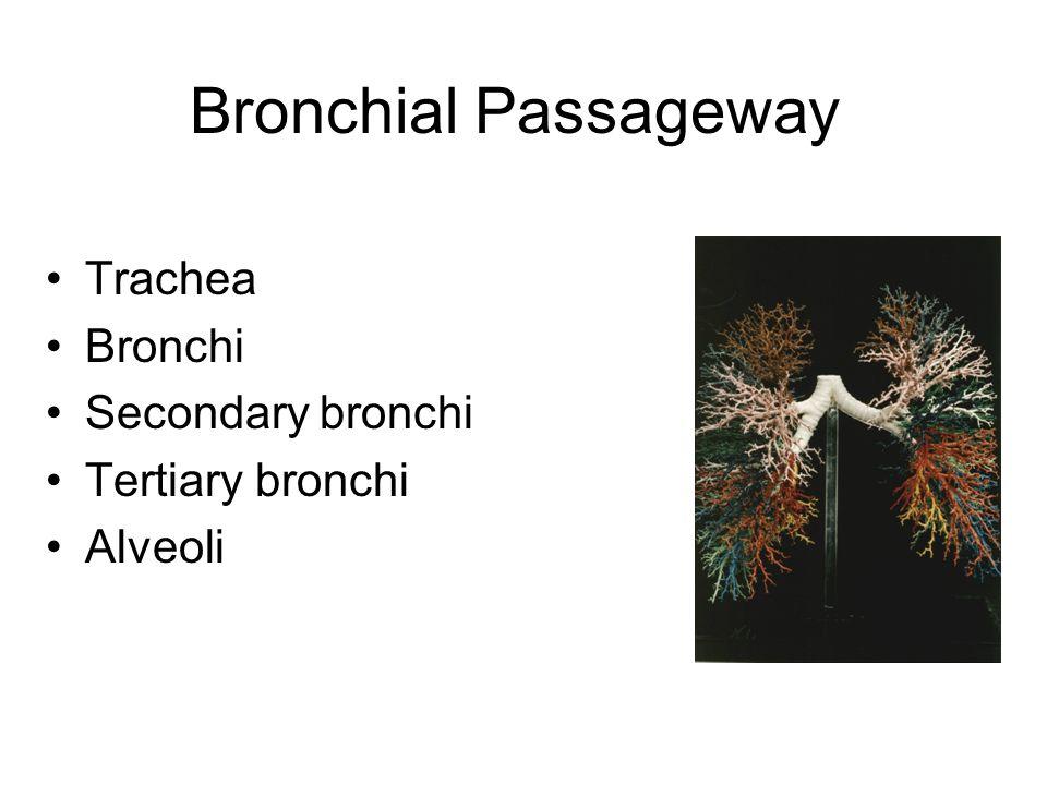 Bronchial Passageway Trachea Bronchi Secondary bronchi Tertiary bronchi Alveoli