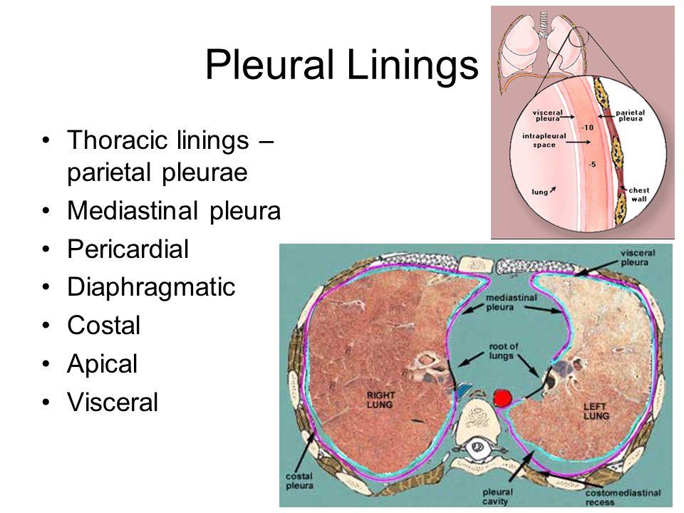 Pleural Linings Thoracic linings – parietal pleurae Mediastinal pleura Pericardial Diaphragmatic Costal Apical Visceral