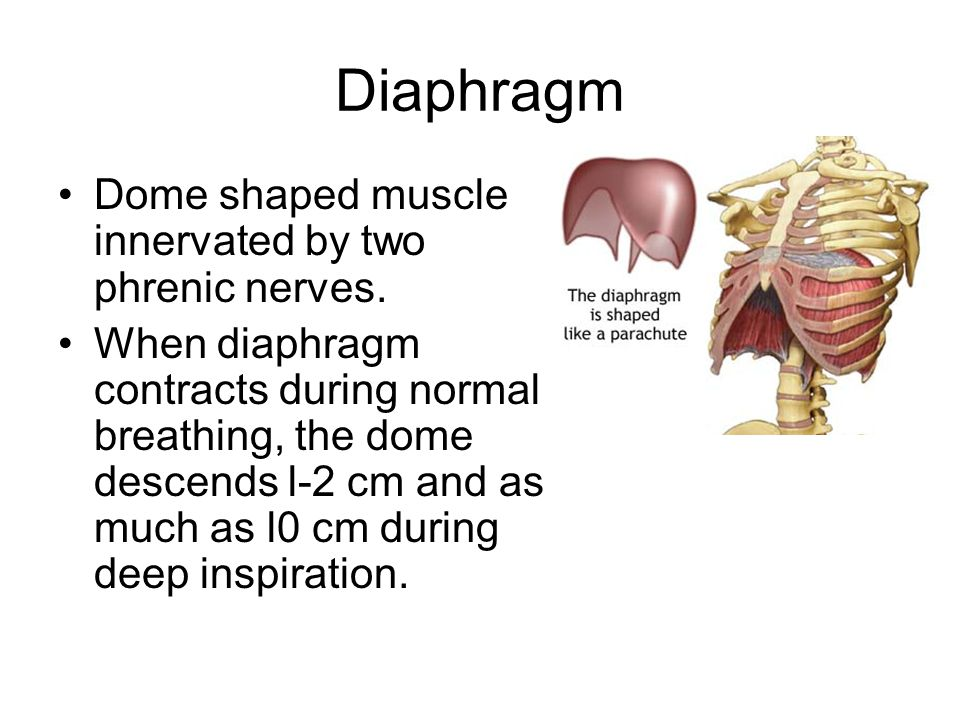 Diaphragm Dome shaped muscle innervated by two phrenic nerves.