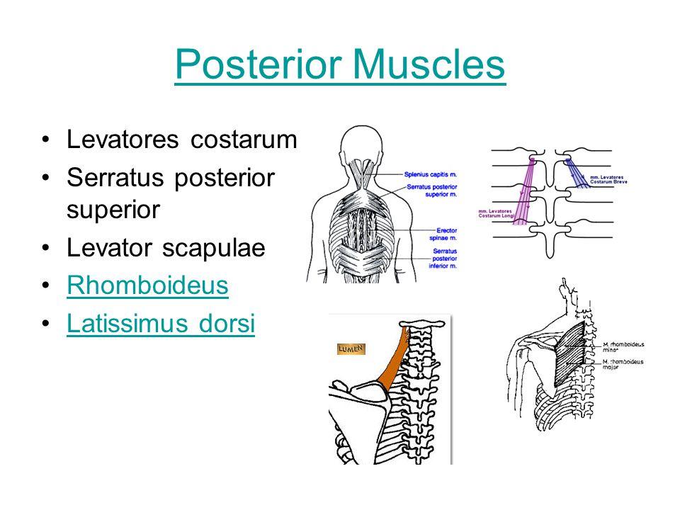 Posterior Muscles Levatores costarum Serratus posterior superior Levator scapulae Rhomboideus Latissimus dorsi
