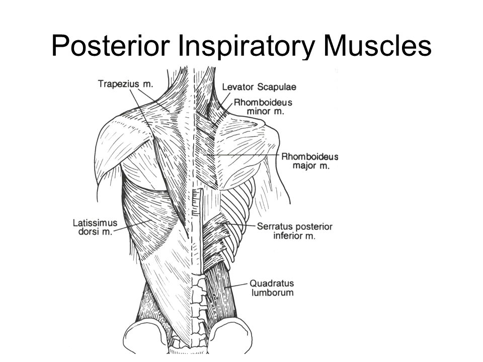 Posterior Inspiratory Muscles