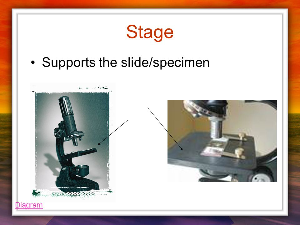 Stage Supports the slide/specimen Diagram
