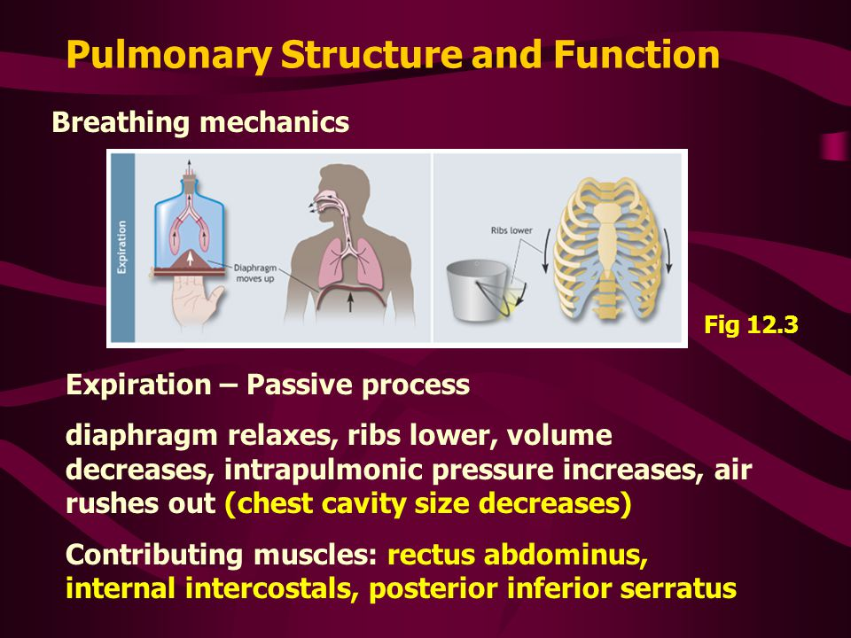 Pulmonary Structure and Function Breathing mechanics Expiration – Passive process diaphragm relaxes, ribs lower, volume decreases, intrapulmonic press