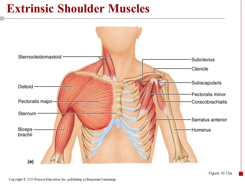 Copyright © 2003 Pearson Education, Inc. publishing as Benjamin Cummings Extrinsic Shoulder Muscles Figure 10.13a