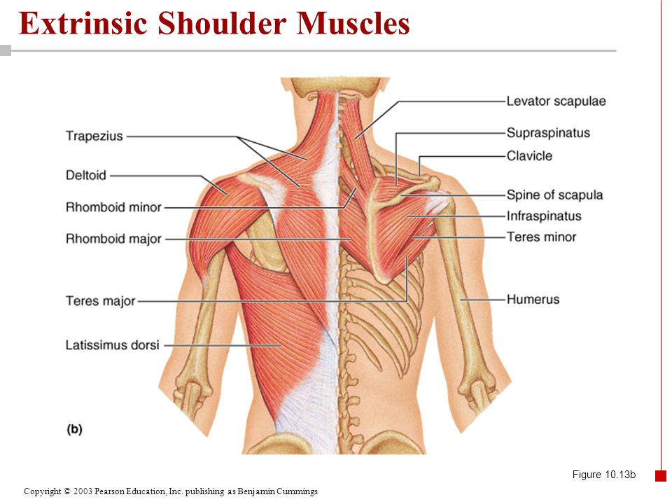 Copyright © 2003 Pearson Education, Inc. publishing as Benjamin Cummings Extrinsic Shoulder Muscles Figure 10.13b