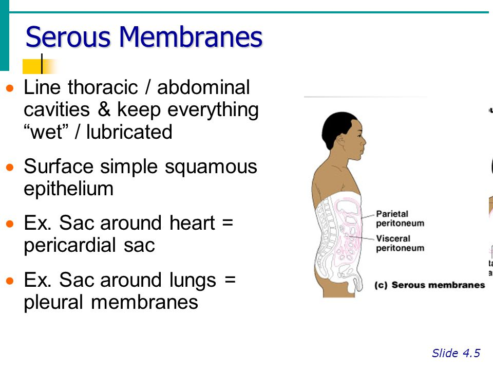 "Serous Membranes Slide 4.5  Line thoracic / abdominal cavities & keep everything ""wet"" / lubricated  Surface simple squamous epithelium  Ex. Sac ar"