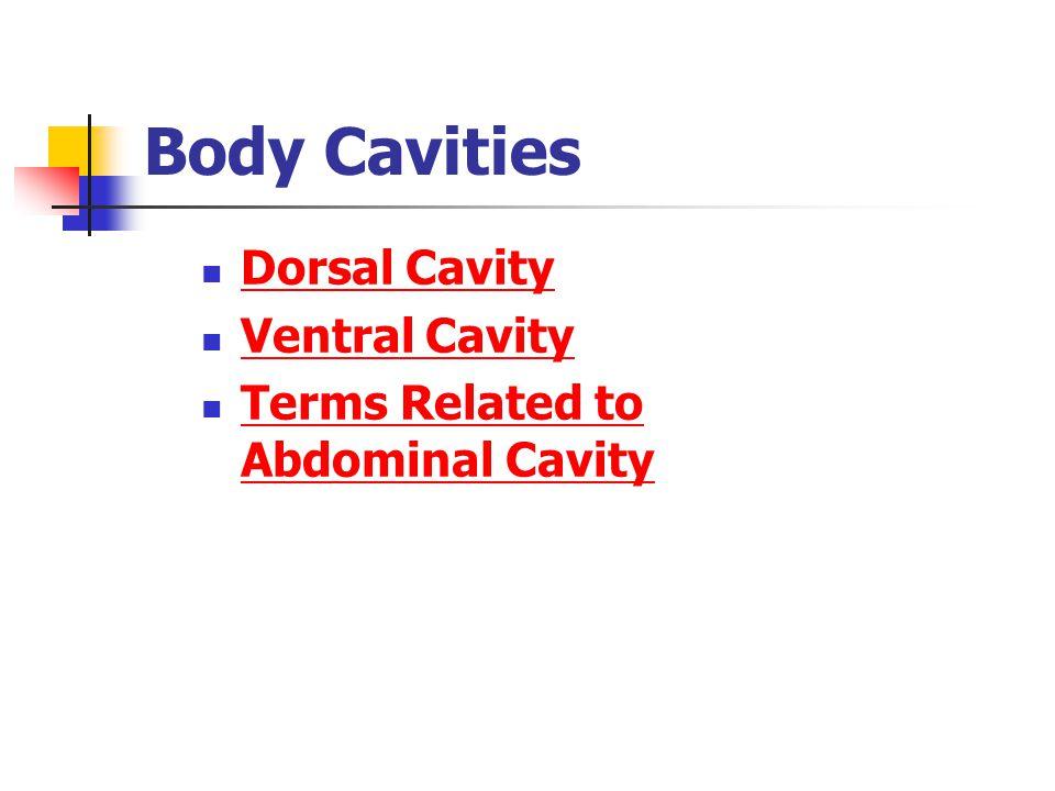 Body Cavities Dorsal Cavity Dorsal Cavity Ventral Cavity Ventral Cavity Terms Related to Abdominal Cavity Terms Related to Abdominal Cavity