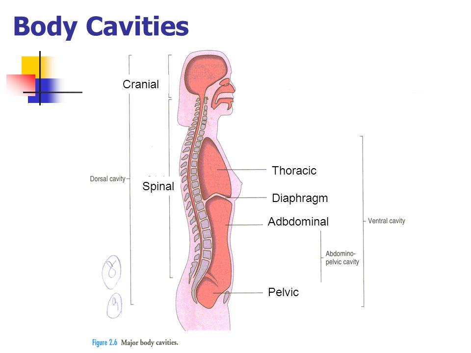 Body Cavities Thoracic Adbdominal Pelvic Spinal Cranial Diaphragm