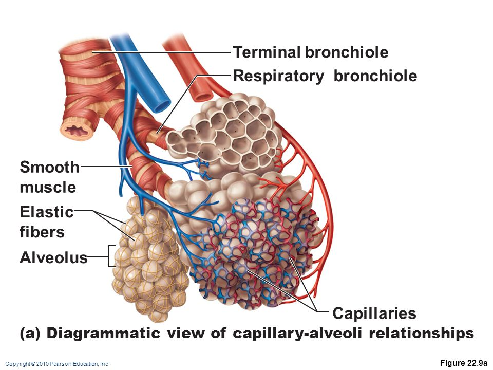Copyright © 2010 Pearson Education, Inc. Figure 22.9a Elastic fibers (a) Diagrammatic view of capillary-alveoli relationships Smooth muscle Alveolus C