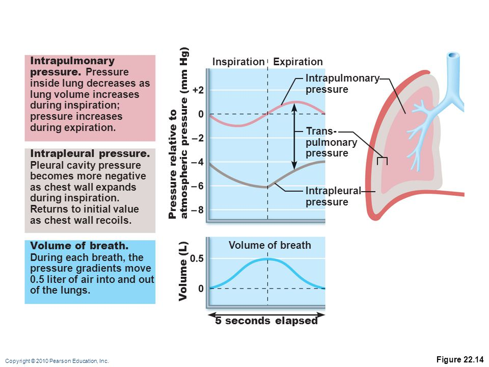 Copyright © 2010 Pearson Education, Inc. Figure 22.14 5 seconds elapsed Volume of breath Intrapulmonary pressure Expiration Intrapleural pressure Tran