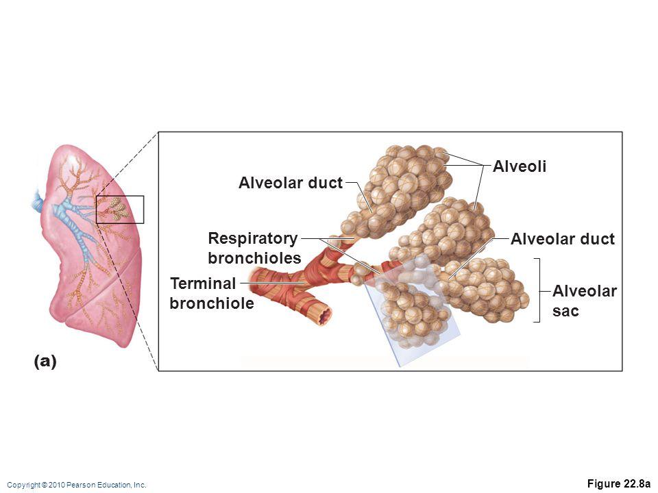 Copyright © 2010 Pearson Education, Inc. Figure 22.8a (a) Alveolar duct Alveoli Alveolar sac Respiratory bronchioles Terminal bronchiole