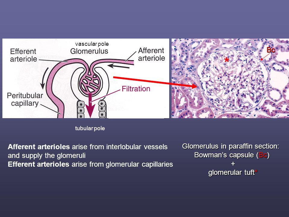 Glomerulus in paraffin section: Bowman's capsule (Bc) + glomerular tuft* glomerular tuft* * Bc Afferent arterioles arise from interlobular vessels and supply the glomeruli Efferent arterioles arise from glomerular capillaries tubular pole vascular pole
