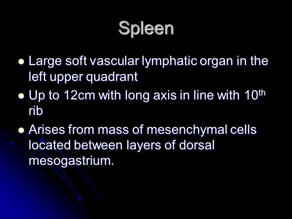 Spleen Large soft vascular lymphatic organ in the left upper quadrant Large soft vascular lymphatic organ in the left upper quadrant Up to 12cm with l