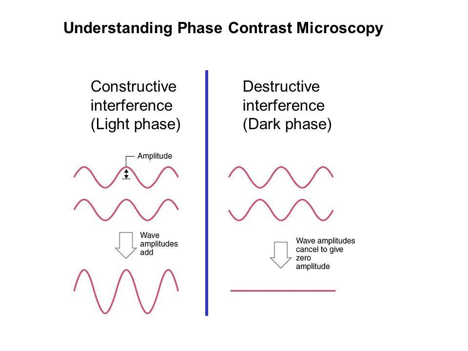 Destructive interference (Dark phase) Constructive interference (Light phase) Understanding Phase Contrast Microscopy
