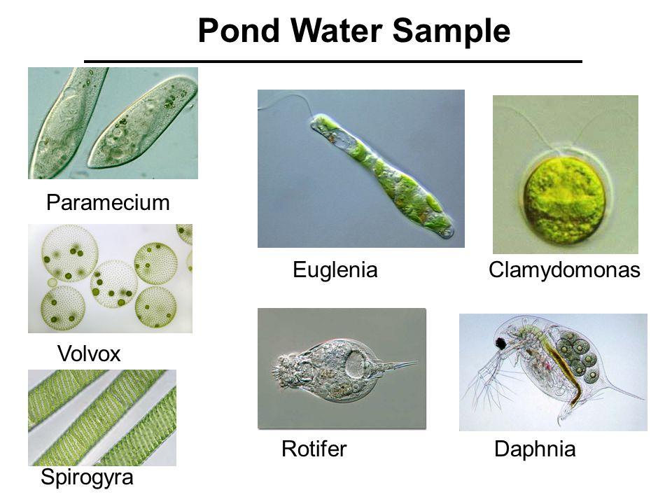 Pond Water Sample Paramecium Euglenia Volvox Clamydomonas Spirogyra RotiferDaphnia
