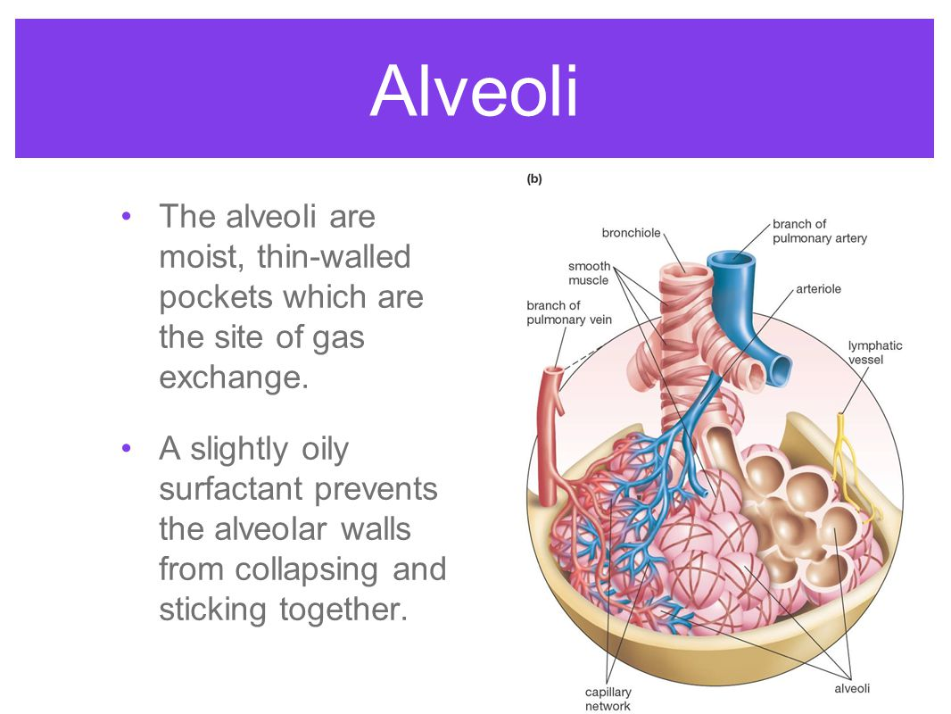 Alveoli The alveoli are moist, thin-walled pockets which are the site of gas exchange. A slightly oily surfactant prevents the alveolar walls from col