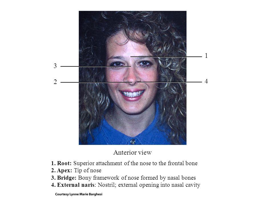 Midbrain Pons Medulla oblongata Spinal cord Pneumotaxic area Apneustic area Inspiratory area Expiratory area Medullary rhythmicity area: Sagittal plane RESPIRATORY CENTER: Sagittal section of brain stem