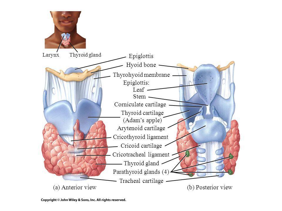Hyoid bone (c) Sagittal section Thyrohyoid membrane Fat body Ventricular fold (false vocal cord) Thyroid cartilage Vocal fold (true vocal cord) Cricothyroid ligament Cricotracheal ligament Thyrohyoid membrane Epiglottis Cuneiform cartilage Corniculate cartilage Arytenoid cartilage Laryngeal sinus Cricoid cartilage Tracheal cartilage Sagittal plane