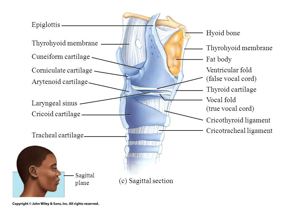 Thyrohyoid muscle Epiglottic cartilage Vestibular fold Vocal fold Vocalis muscle Inferior pharyngeal constrictor muscle Sternothyroid muscle Lateral cricoarytenoid muscle Cricothyroid muscle Cricothyroid ligaments Trachea Thyroid gland Parathyroid gland Hyoid bone Thyrohyoid membrane Rima vestibuli Laryngeal sinus Thyroid cartilage Rima glottidis Cricoid cartilage Cricotracheal ligament First tracheal cartilage Vestibule of larynx Cavity of larynx Cavity of larynx Cavity of larynx Cavity of larynx (d) Frontal section