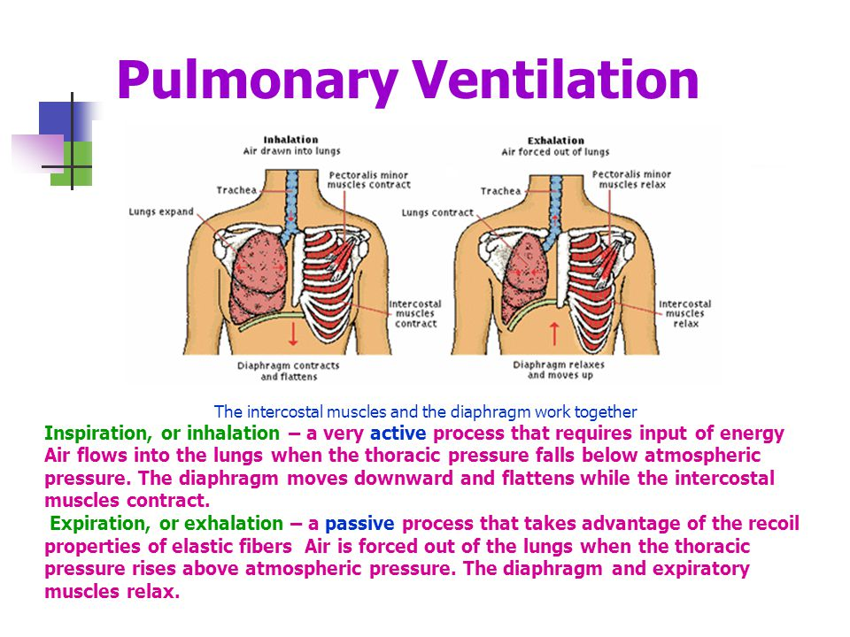 Pulmonary Ventilation The intercostal muscles and the diaphragm work together Inspiration, or inhalation – a very active process that requires input of energy Air flows into the lungs when the thoracic pressure falls below atmospheric pressure.
