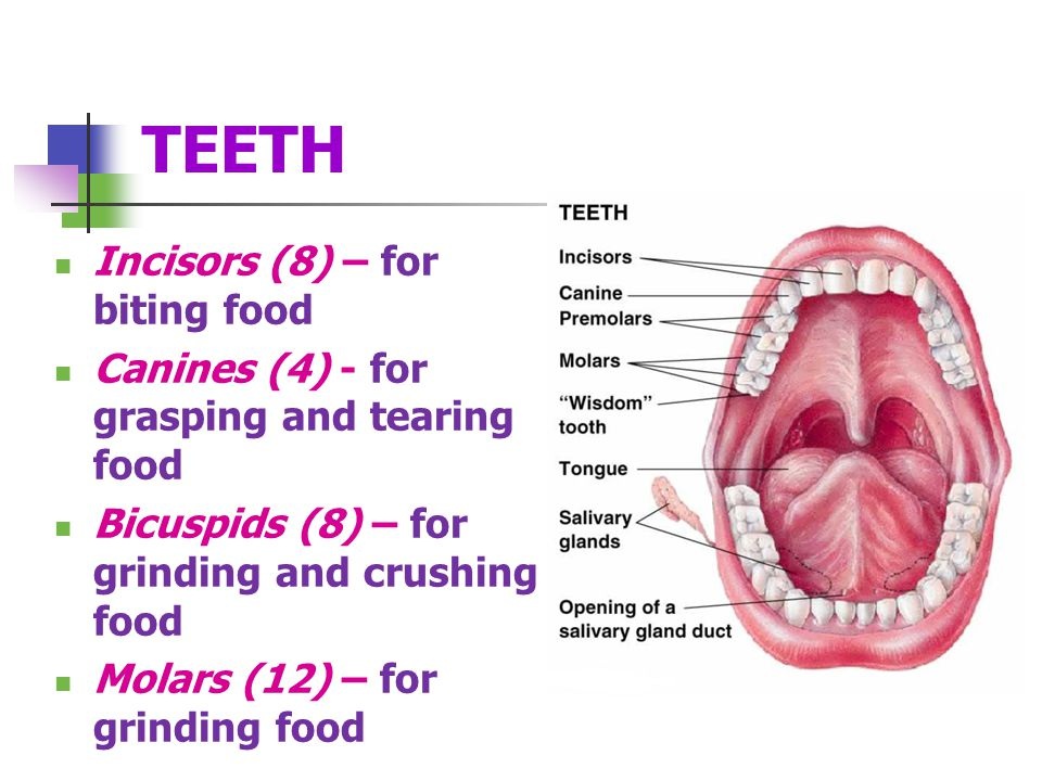 TEETH Incisors (8) – for biting food Canines (4) - for grasping and tearing food Bicuspids (8) – for grinding and crushing food Molars (12) – for grinding food