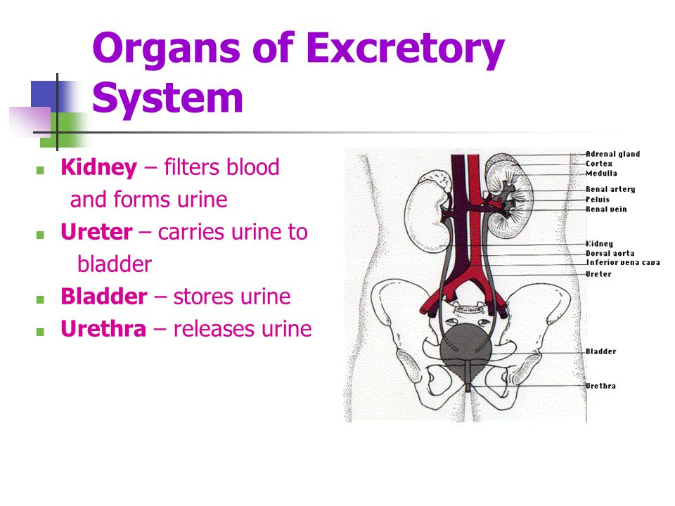 Organs of Excretory System Kidney – filters blood and forms urine Ureter – carries urine to bladder Bladder – stores urine Urethra – releases urine