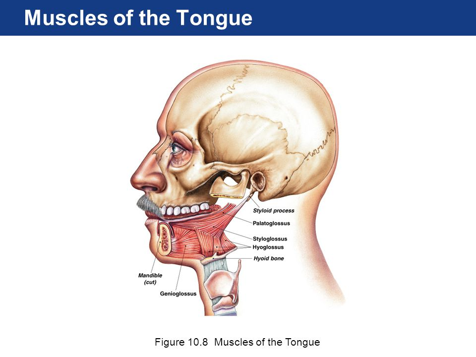 Figure 10.8 Muscles of the Tongue Muscles of the Tongue