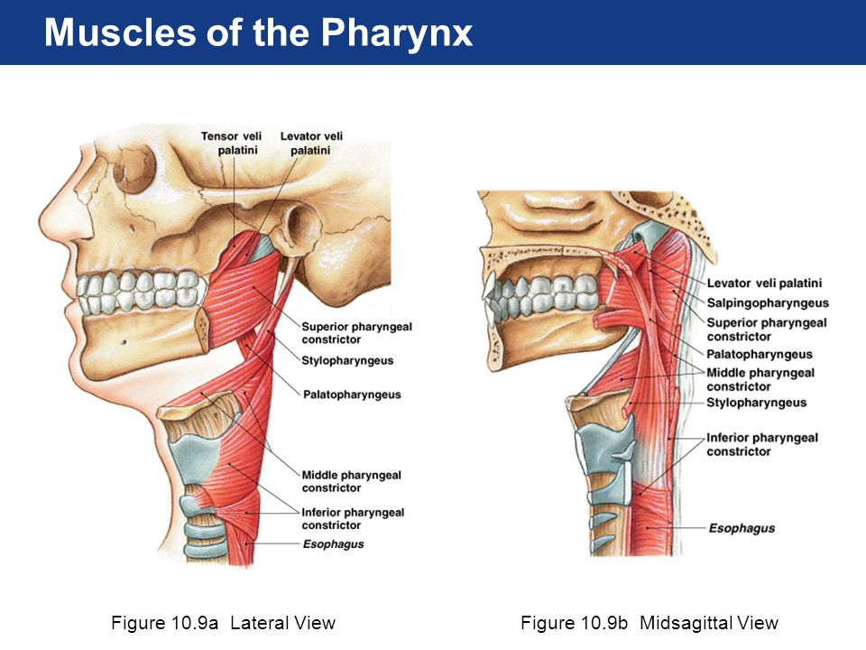 Figure 10.9a Lateral ViewFigure 10.9b Midsagittal View Muscles of the Pharynx