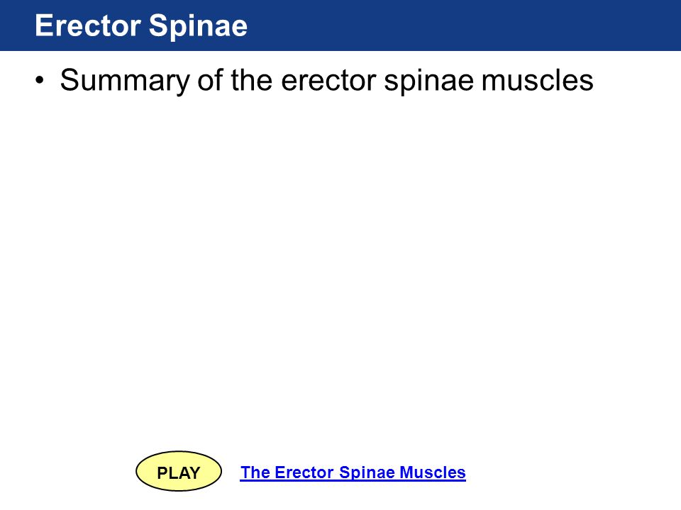 PLAY The Erector Spinae Muscles Erector Spinae Summary of the erector spinae muscles