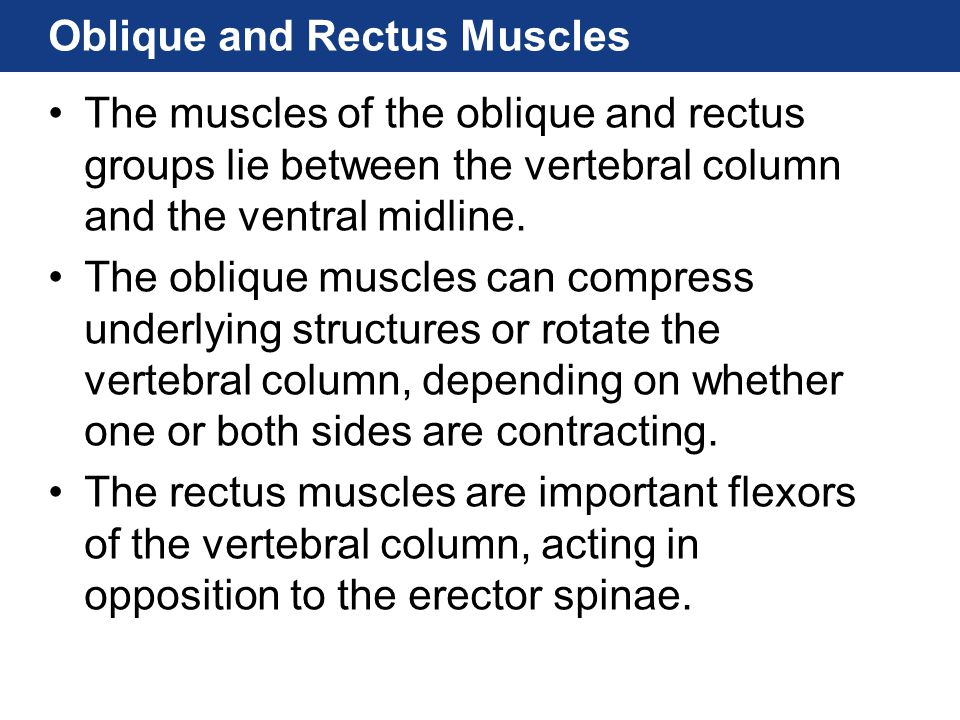 Oblique and Rectus Muscles The muscles of the oblique and rectus groups lie between the vertebral column and the ventral midline. The oblique muscles