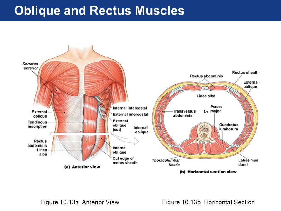 Figure 10.13a Anterior ViewFigure 10.13b Horizontal Section Oblique and Rectus Muscles