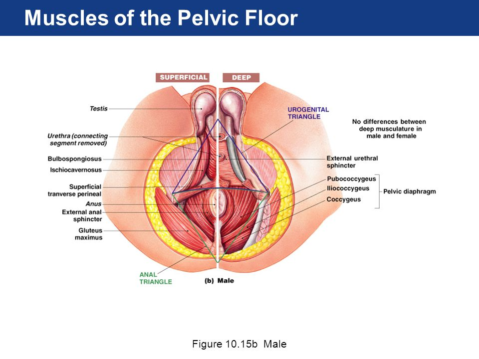 Figure 10.15b Male Muscles of the Pelvic Floor