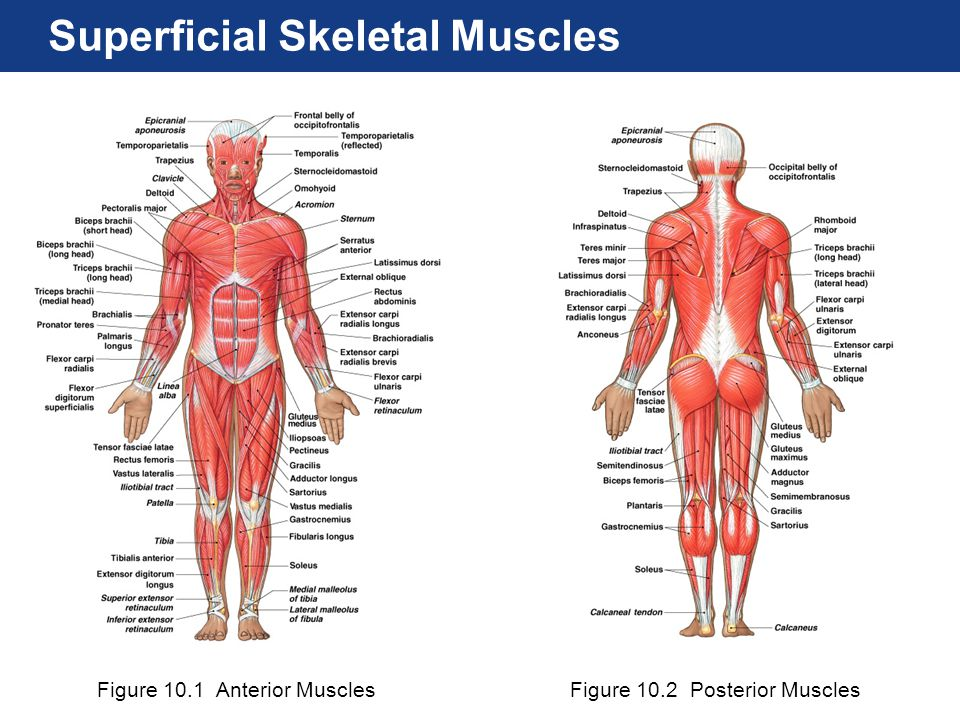 Figure 10.1 Anterior MusclesFigure 10.2 Posterior Muscles Superficial Skeletal Muscles
