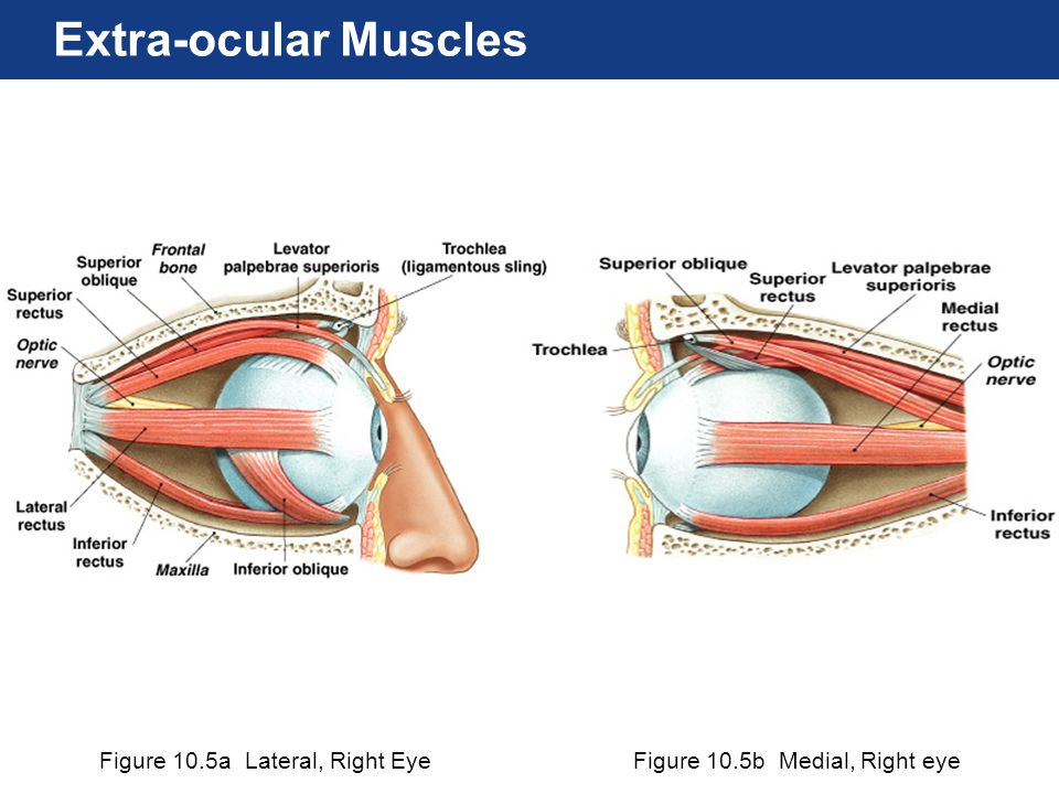 Figure 10.5a Lateral, Right EyeFigure 10.5b Medial, Right eye Extra-ocular Muscles