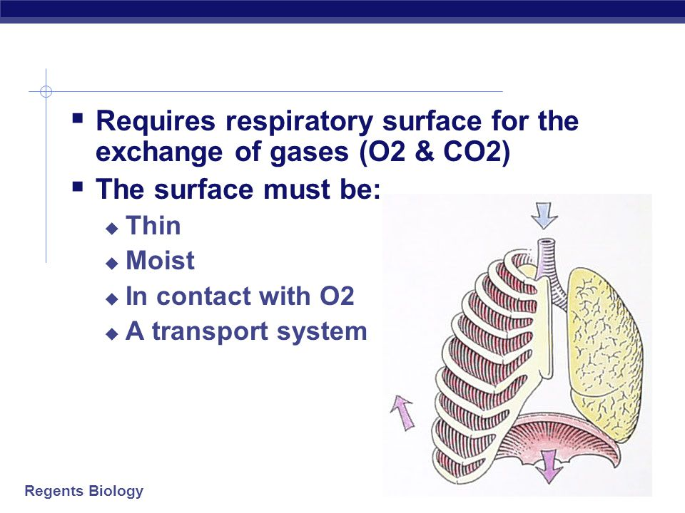 Regents Biology Gills: getting O 2 out of water  Gills are gas exchange membranes outside of the body  thin tissue  high surface area  must stay wet  lots of blood vessels  gas exchange  O 2 into blood  CO 2 out to water gills water Just keep swimming…