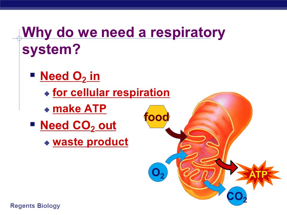 Regents Biology  Requires respiratory surface for the exchange of gases (O2 & CO2)  The surface must be:  Thin  Moist  In contact with O2  A tra