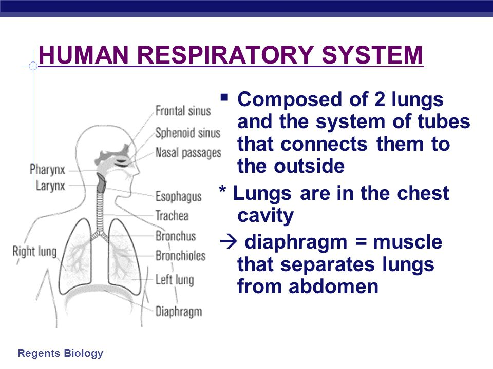 Regents Biology HUMAN RESPIRATORY SYSTEM  Composed of 2 lungs and the system of tubes that connects them to the outside * Lungs are in the chest cavity  diaphragm = muscle that separates lungs from abdomen