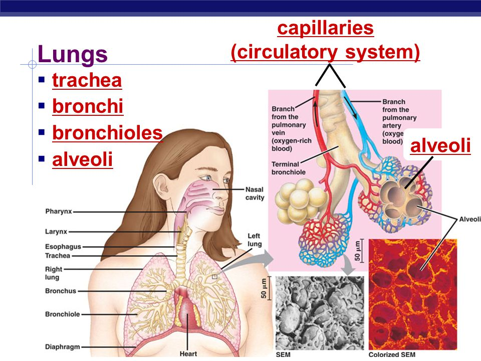 Gas exchange: Diffusion of gases  Gases move by diffusion from high to low concentration  capillaries are thin-walled tubes of circulatory system  alveoli are thin-walled sacs of respiratory system bloodlungs CO 2 O2O2 O2O2 bloodbody CO 2 O2O2 O2O2 capillaries in lungscapillaries in muscle