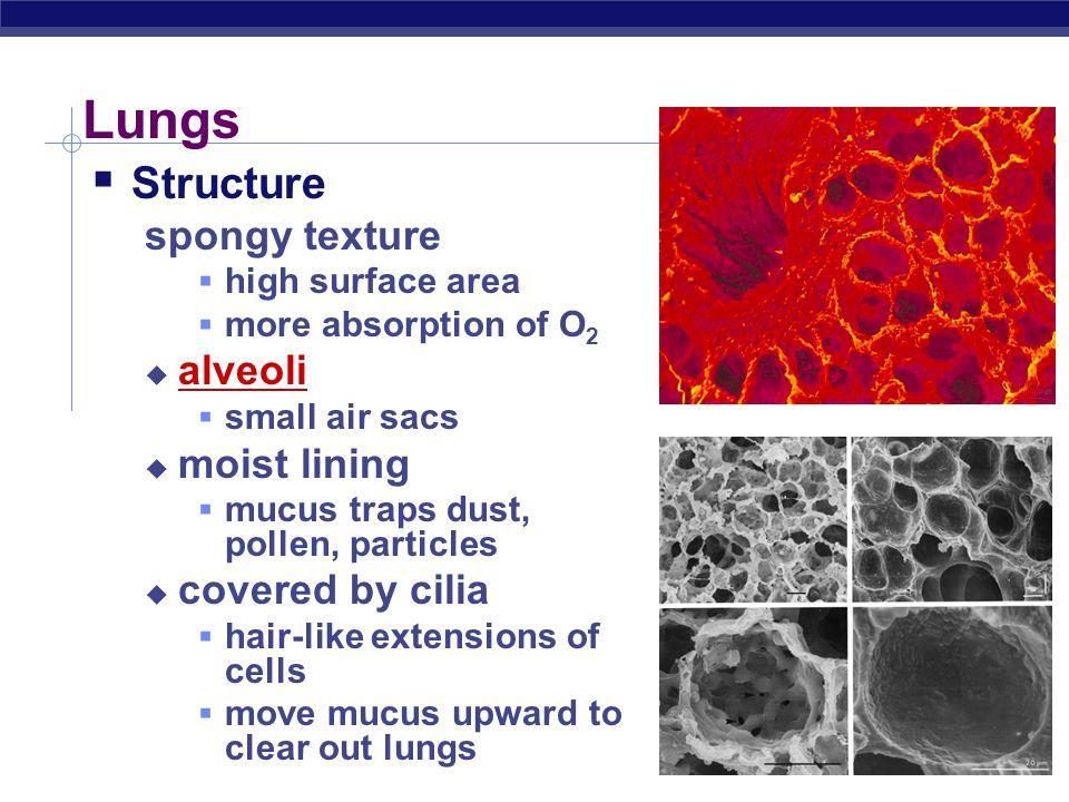 Regents Biology Lungs alveoli  trachea  bronchi  bronchioles  alveoli capillaries (circulatory system)